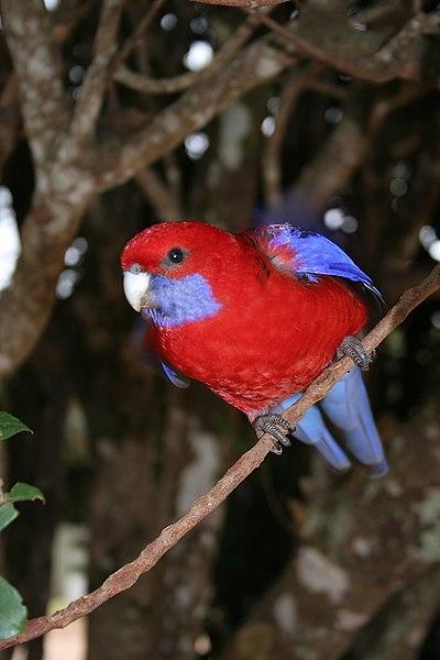 Fichier:Crimson Rosella.jpg