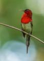 Crimson sunbird.png
