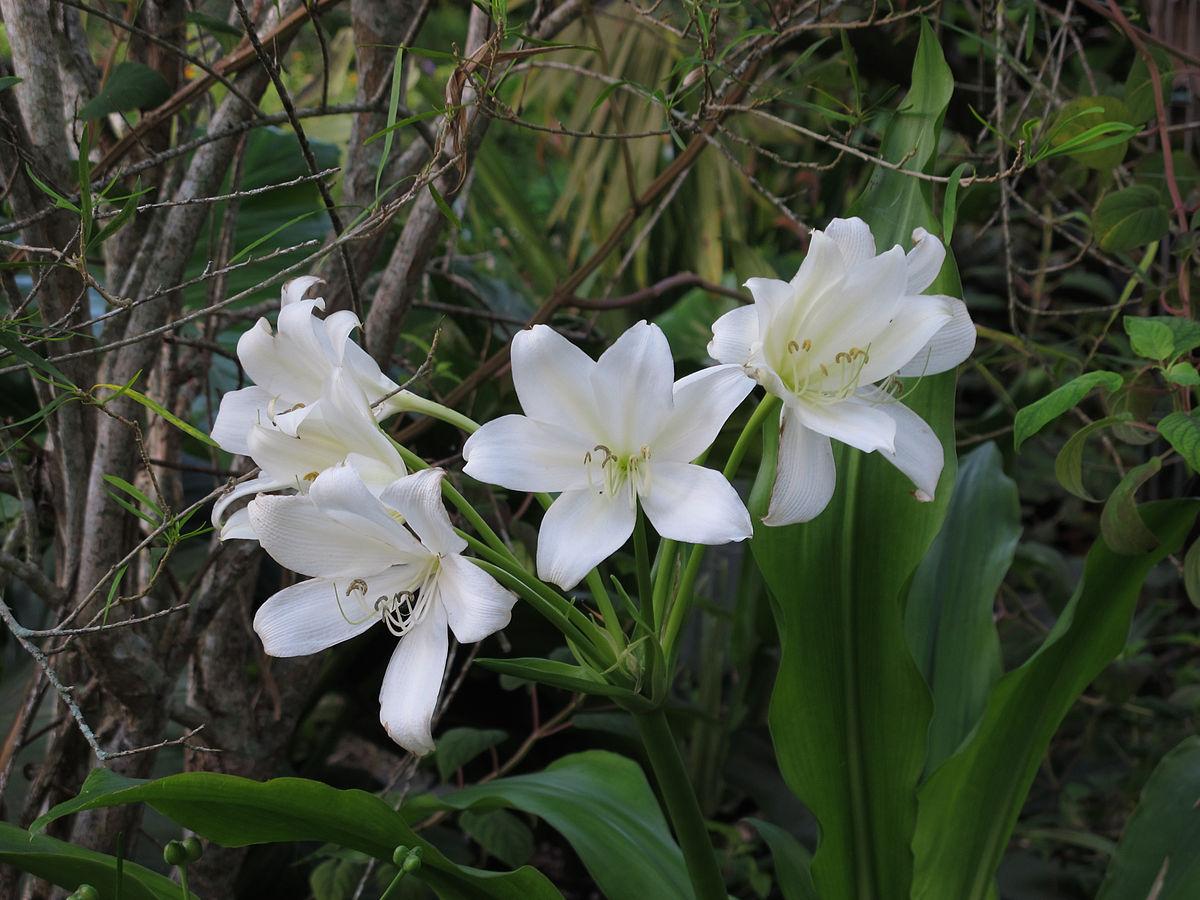 Crinum jagus - Wikispecies