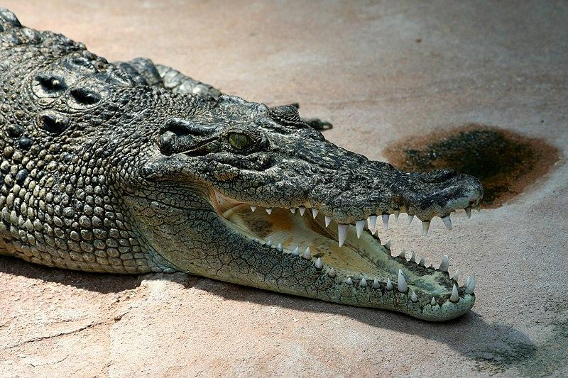 Bestand:Crocodile Crocodylus-porosus amk.jpg