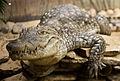 Crocodile du Nil vue de face.jpg