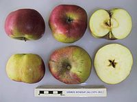 Cross section of Dermen Winesap, National Fruit Collection (acc. 1974-052).jpg