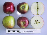 Cross section of Red Transparent, National Fruit Collection (acc. 1950-143).jpg