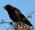 Crow (8158033095).jpg