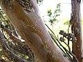 Cupressus forbesii at Coal Canyon-Sierra Peak, Orange County - Flickr - theforestprimeval (5).jpg