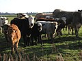 Curious cattle - geograph.org.uk - 623327.jpg