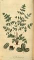 Curtis's Botanical Magazine, Plate 3055 (Volume 58, 1831).png