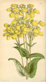 Curtis's Botanical Magazine, Plate 4300 (Volume 73, 1847).png