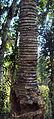 Cycas circinalis 02.JPG