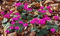Cyclamen coum (d.j.b.) 01.jpg