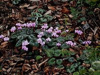 Cyclamen coum clump01.jpg