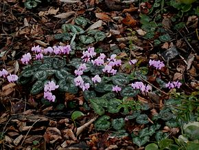 alt=Description de l'image Cyclamen coum clump01.jpg.