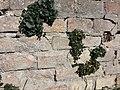 Cymbalaria muralis sl3.jpg