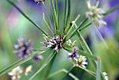 Cyperus trachysanthos 0zz.jpg