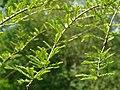 Cyprès chauve Bourgnac feuillage (1).jpg