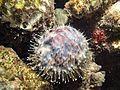 Cypraeidae Maldives.JPG