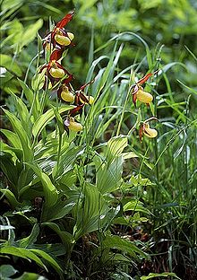 Cypripedium calceolus wiki mg-k01.jpg