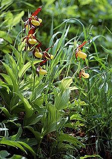 <i>Cypripedium calceolus</i>