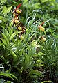 Cypripedium calceolus wiki mg-k01.jpg