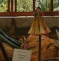 Cyrtanthus falcatus KirstenboschBotGard09292010B.jpg