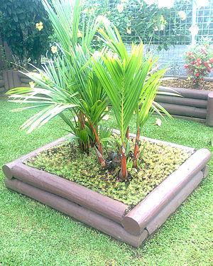 Cyrtostachys renda - Ornamental Cyrtostachys renda in a garden in Suva, Fiji