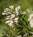 Cytisus proliferus - La Palma 03.jpg