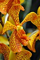 DGJ 4049 - So many orchids.. (3718376882).jpg