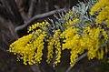 DSC 3069 Cootamundra wattle (Acacia baileyana) (19249329702).jpg