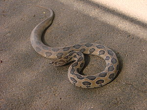 Venomous snake - Image: Daboia russelii A Chawla 01