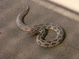Venomous snake - Russell's viper (Daboia russelii)