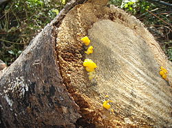 Dacrymyces palmatus on a log.JPG
