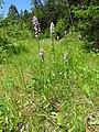 Dactylorhiza fuchsii 36.jpg
