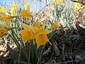 Daffodils bloom along Gap Run. (13580220314).jpg