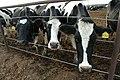 Dairy Cattle .jpg