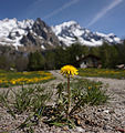 Dandelion and Massif du Mont-Blanc.jpg