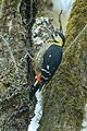 Darjeeling Woodpecker - Bhutan S4E9850 (16224265649).jpg