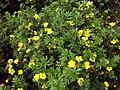 Dasiphora fruticosa ssp fruticosa 3.jpg