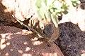 Dassie rat, (Petromus typicus)-5179 - Flickr - Ragnhild & Neil Crawford.jpg