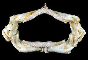 Southern stingray - Jaws