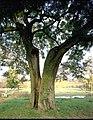 De Japanse honingboom - 354369 - onroerenderfgoed.jpg