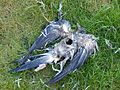 Dead columba palumbus 47 days.jpg