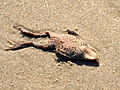Dead frogs on Grenen beach sand II.JPG