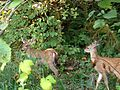 Deer at Tualatin Hills Nature Park.JPG
