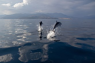Gulf of Corinth - Striped dolphins jumping in the gulf