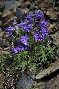 Delphinium brachycentrum.jpg