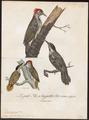Dendropicus cardinalis - 1796-1808 - Print - Iconographia Zoologica - Special Collections University of Amsterdam - UBA01 IZ18700179.tif