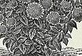 Descriptive catalogue of vegetable, flower, and farm seeds (18uu) (20871982835).jpg