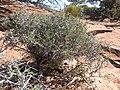 Desert Bush.jpg