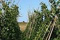 Detall de cultiu de fesol ull ros de mata alta.jpg
