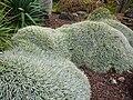 Deuterocohnia brevifolia - 2011.jpg
